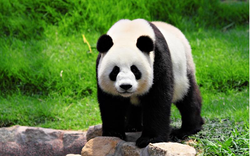「大熊猫」という字面を見ると、