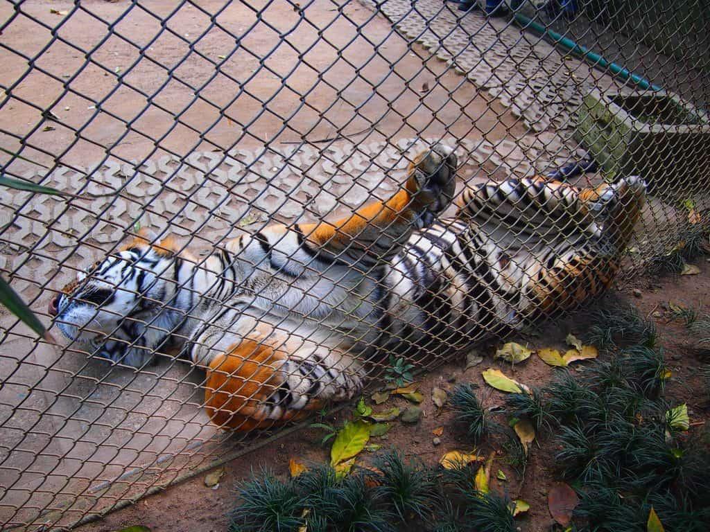 動物園で檻の中を悠々と歩いてい
